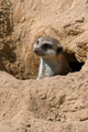 Meerkat - PhotoDune Item for Sale