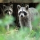 Racoon Family - VideoHive Item for Sale