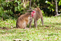 Monkey search for louse on another monkey - PhotoDune Item for Sale