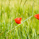 Two red poppies on spring meadow - PhotoDune Item for Sale
