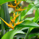 Heliconia - PhotoDune Item for Sale