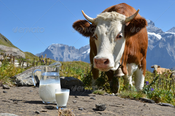 PhotoDune Cow and jug of milk Jungfrau region Switzerland 4021123
