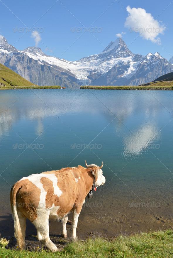 PhotoDune Cow in an Alpine meadow Jungfrau region Switzerland 4021142