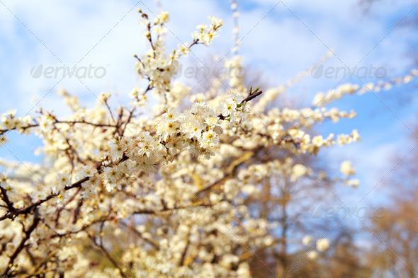 PhotoDune blossoming cherry tree 4102043