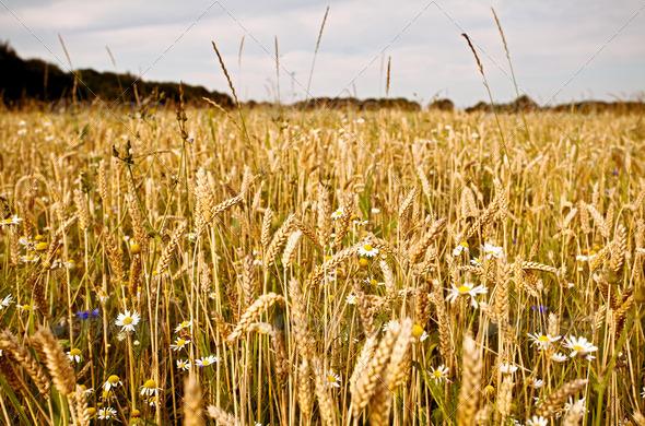 PhotoDune wheat and wildflowers on field 4102048