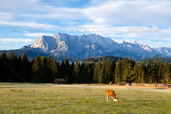PhotoDune young alpine cow on pasture 4102142