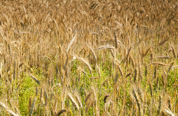 PhotoDune wheat field 4102157