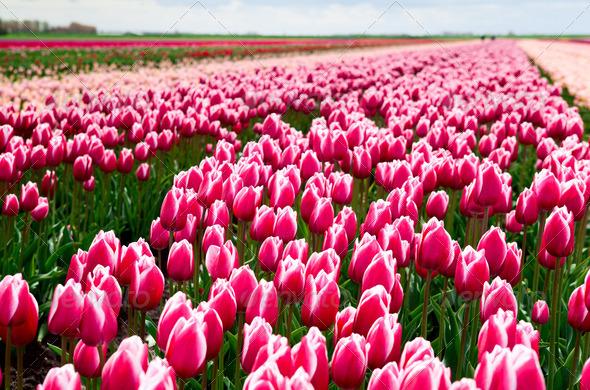 PhotoDune field of red and white tulips 4102169
