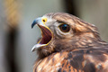 hawk falcon raptor bird - PhotoDune Item for Sale