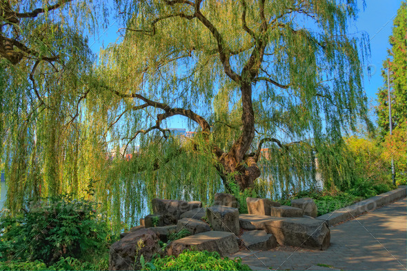 PhotoDune Weeping willow 4124362