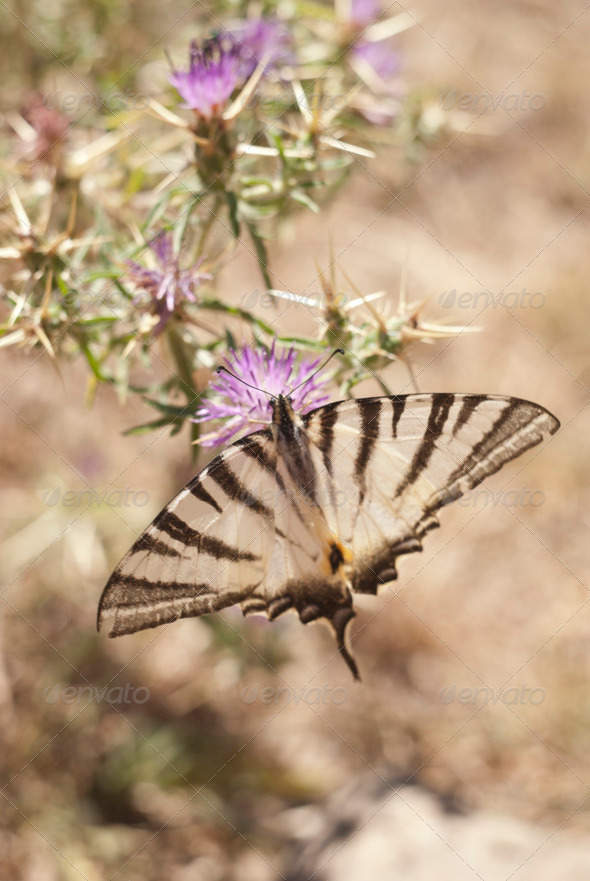 PhotoDune Butterfly on a flower in sicilian countryside 4141360