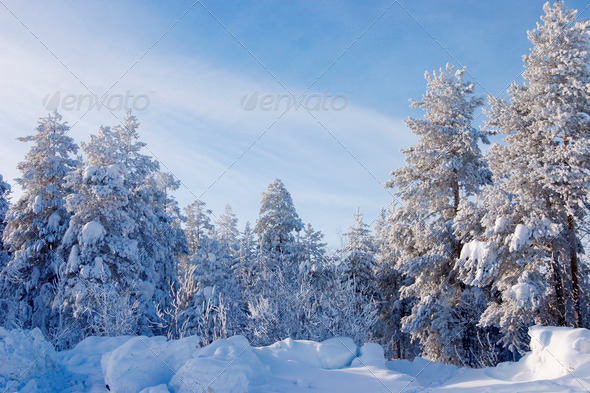 PhotoDune Evergreen fur trees and pines covered by a snow on the eve of Christmas 4141353