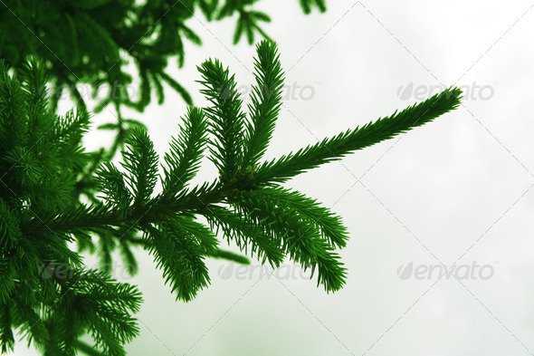 PhotoDune Brightly green prickly branches of a fur-tree or pine 4141362