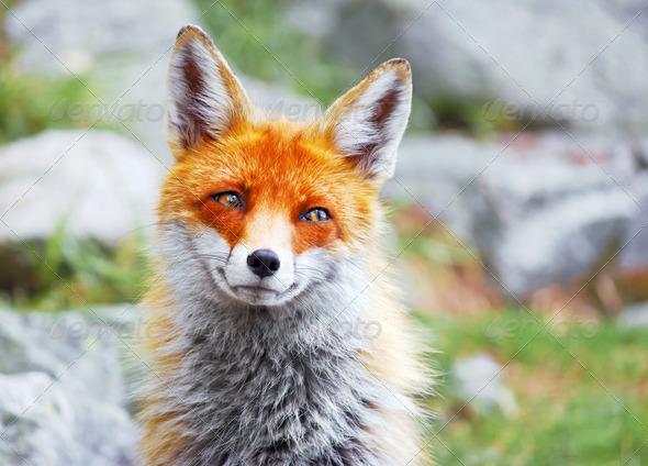 PhotoDune Red fox 4175347