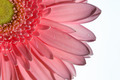 Gerbera Daisy - PhotoDune Item for Sale