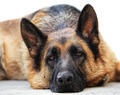 german sheppard - PhotoDune Item for Sale
