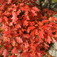 Red Autumn Leaves - PhotoDune Item for Sale