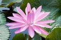 Blossom Pink Lotus Flower - PhotoDune Item for Sale