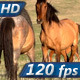 Horses Love - VideoHive Item for Sale