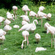 group of flamingo's - PhotoDune Item for Sale
