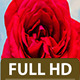 Rose Blossoming Timelapse - VideoHive Item for Sale