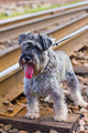 Miniature Schnauzer on the railroad - PhotoDune Item for Sale