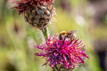 Bumblebee on a flower, Thistle, Macro - PhotoDune Item for Sale