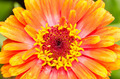 Orange Zinnia Elegans - PhotoDune Item for Sale