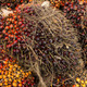 Oil palm fruits before processing in Thailand - PhotoDune Item for Sale