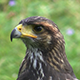 Harris Hawk is Looking for Prey Detail - VideoHive Item for Sale