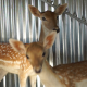Deer In The Cage - VideoHive Item for Sale