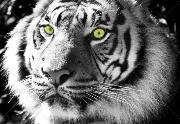 Black and White Tiger with Green Eyes - Stock Photo ...