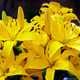 Yellow Lillies - PhotoDune Item for Sale
