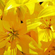 Close Up of Yellow Lillies - PhotoDune Item for Sale