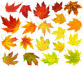 Colorful maple leaves - PhotoDune Item for Sale