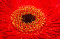 Red Gerbera Flower - PhotoDune Item for Sale