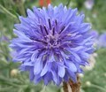 Knapweed - PhotoDune Item for Sale