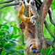 Mantled Howler Monkey - PhotoDune Item for Sale