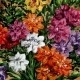 Picture, freesia flowers - GraphicRiver Item for Sale