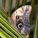 Owl butterfly - Caligo Memnon - PhotoDune Item for Sale