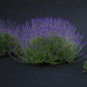 Lavender bush - 3DOcean Item for Sale
