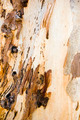 Gum Tree Bark - PhotoDune Item for Sale
