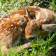 newborn whitetail fawn - PhotoDune Item for Sale