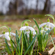 spring flower snowdrop with green leaves in ground - PhotoDune Item for Sale