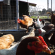Poultry Come Out Of The Coop 2 - VideoHive Item for Sale