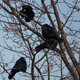 Ravens on Tree 25 - VideoHive Item for Sale