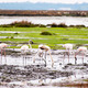 Flamingos on marshes - PhotoDune Item for Sale