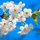 Cherry tree blossoming in the springtime - PhotoDune Item for Sale