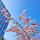 Cherry blossoms with nice modern building in background - PhotoDune Item for Sale