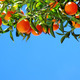 Ripe oranges on sky - PhotoDune Item for Sale